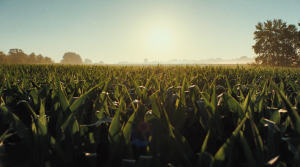 A wide angle view of a cornfield with the sun setting behind it